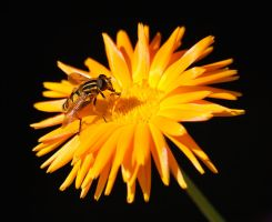 Hover Fly by smithmar01
