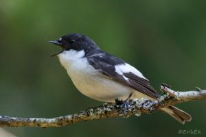 European pied flycatcher by ErikEK
