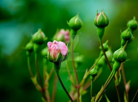 Rosebuds by hpot