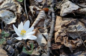 Bloodroot by celtic-chrys