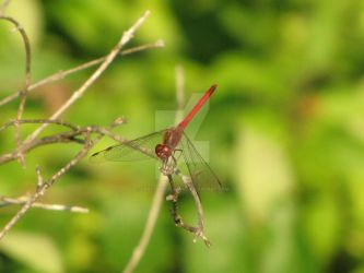 Red Dragonfly by craftywench-nh