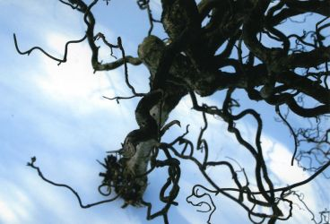 Twisty Tree by Vigg