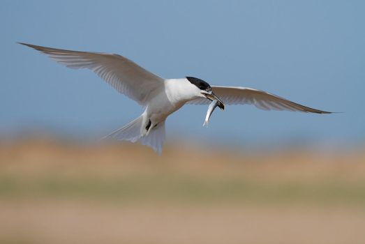 Endagered : the Sandwich Tern by phalalcrocorax