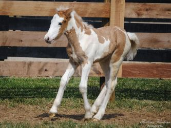 Halting Gypsy Vanner Foal - Stock by BHP-Stock