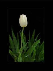 White Tulip No. 5 by courey