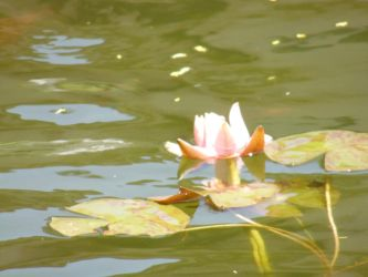 Flower among Lilypads by freakismyword