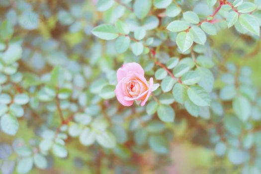 Blooming Rose by nezumi-photography