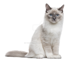 The cat sits on a transparent background. by PRUSSIAART