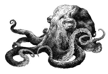 Another octopus by Adoulie