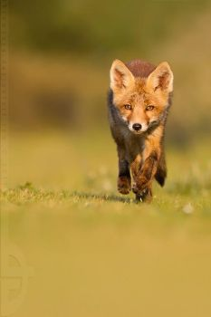 Run, Fox, run... by thrumyeye