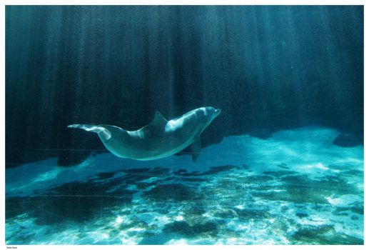 Dolphin Bathed In Light by Della-Stock