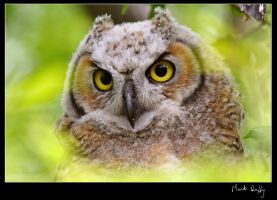 Young Owl by pictureguy