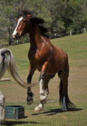 Clydesdale Rear 2 by naturalhorses