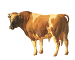 1800's Brown and White Cow PNG by chaseandlinda