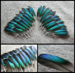 Eurasian Teal Duck Feathers by CabinetCuriosities