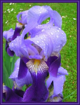 Irises After the Rain by AgiVega