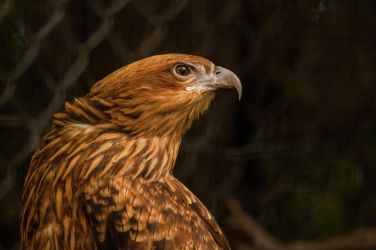 Whistling Kite 2 by daniellepowell82