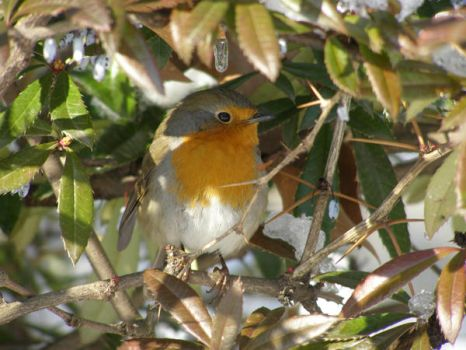 redbreast by avogain