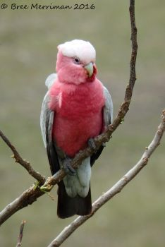 Pink And Grey Galah II by BreeSpawn