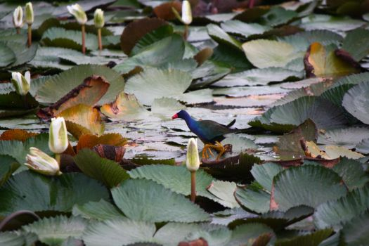 bird on lily pads by veronica-annemarie
