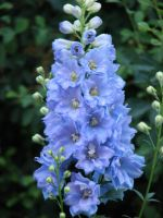 Delphinium by dreaming-of-serenity