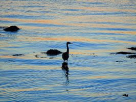 Heron Alone In The Ocean Of Stilness by wolfwings1
