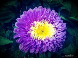 Summer Flower 2012 - 18 by Ingnition
