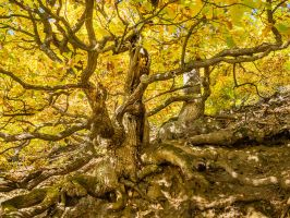 Two oaks with mighty roots, yellow autumn foliage by zeitspuren