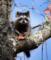 Young raccoon by deseonocturno