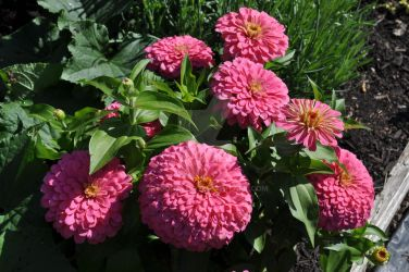 Pink zinnias by snoogaloo