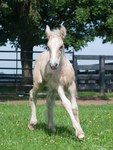 Running Gypsy Vanner Foal- Stock by Synyster-Stock