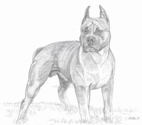 Pit bull drawing by Carrietivity