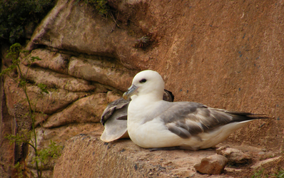 Roosting Fulmar by PWNZ3R-Dragon