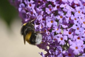 Busy Bee by Harrier2569