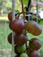 grapes and grapes by Naturevulpex