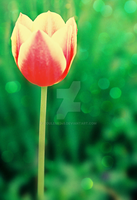 Tulip by Couleur345