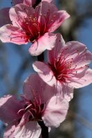Spring Means Peach Blossoms II by photogirl72