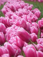 Tulips 27 by whisper-n-the-wind