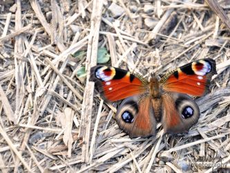 Peacock Butterfly II by suphafly