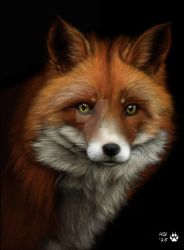 Fox study by HSilustration