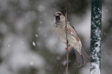 Passer Domesticus by webworm