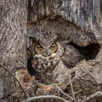 Great Horned Owl by Earth-Divine