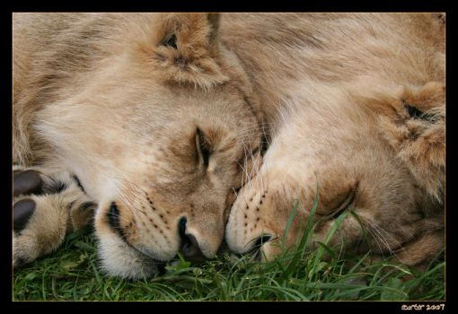Lion Cubs 2 by carterr