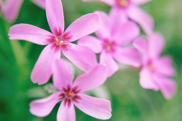 Phlox by Norble
