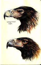 Wedge tailed eagle studies by OFools