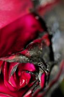 Death of a Rose 2 by AARON-ROBB