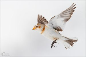 Snow Bunting by ClaudeG
