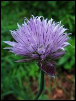 Chive blossom by Pildik