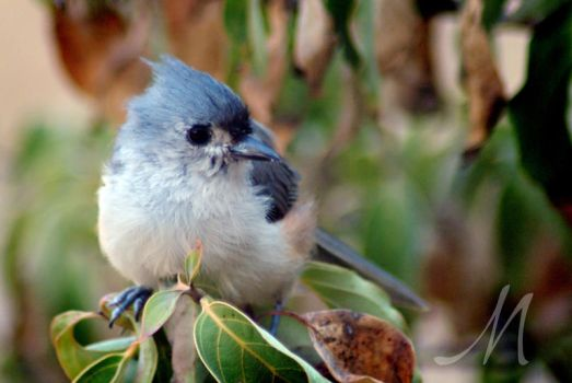 Titmouse by InLightImagery