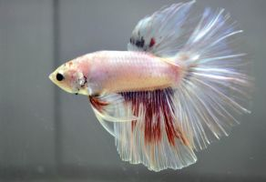 Multicolor Betta by wickedlygreen
